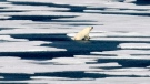 A polar bear steps out of a pool while walking on the ice in the Franklin Strait in the Canadian Arctic Archipelago. Researchers are concerned that global warming will put Arctic areas at risk. (AP Photo/David Goldman)